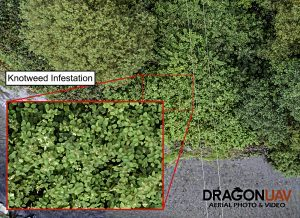 Knotweed zoom Example 300x218 - Our Work